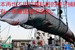 """日本""""退群""""!为什么他们还是无法放弃""""吃鲸""""?"""