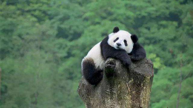 中国科学家首次发现大熊猫牙齿实现自修复机制