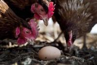 科学家研究基因改造鸡 新技术或可阻止流感大爆发