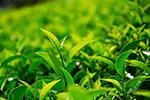 全省多个产区开采早茶 今年浙产春茶品质优于往年