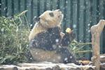 """大熊猫""""乐享""""雪景"""