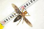 云南发现体长超6厘米的超级大黄蜂