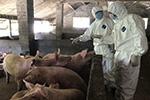 农业农村部:非洲猪瘟纳入强制扑杀 每头补助1200元