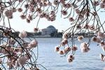 华盛顿樱花盛开