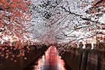 东京目黑川两岸樱花盛开