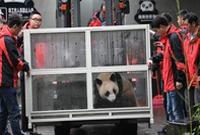 """大熊猫""""如意""""""""丁丁""""启程前往俄罗斯"""