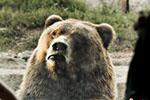 两只灰熊在美蒙大拿州湖中游泳 专家称其在躲避人类