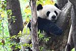"""中国大熊猫个体识别技术迎新突破 实现""""熊脸识别"""""""