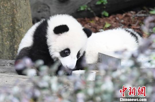 大熊猫。(资料图) 安源 摄