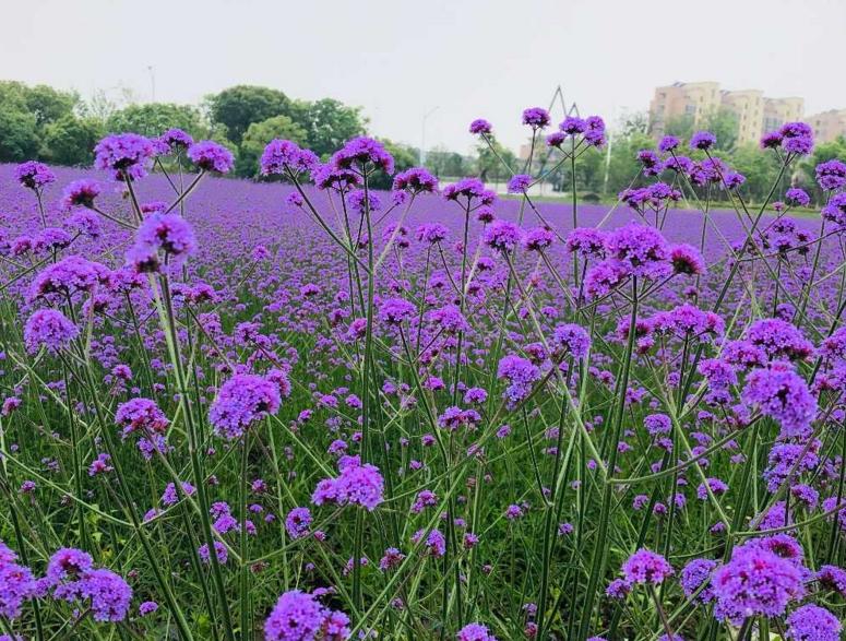 慈城新城紫色花海