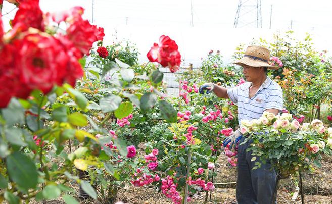玫瑰花开香满园