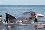 意大利海滩发现抹香鲸尸体 或因摄入过多塑料而死