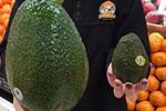 澳大利亚农场出产巨型牛油果 最重达1.8公斤