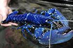 约200万分之一的概率!海鲜店老板发现罕见蓝色龙虾