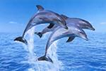 """科学家发现海豚的""""真朋友""""标准:一起觅食一起玩"""