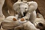 斯里兰卡富豪热衷养幼象 一环保官员参与盗卖受审