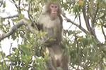 """日本冲绳动物园猴子拿钥匙开门 14只猴子集体""""越狱"""""""