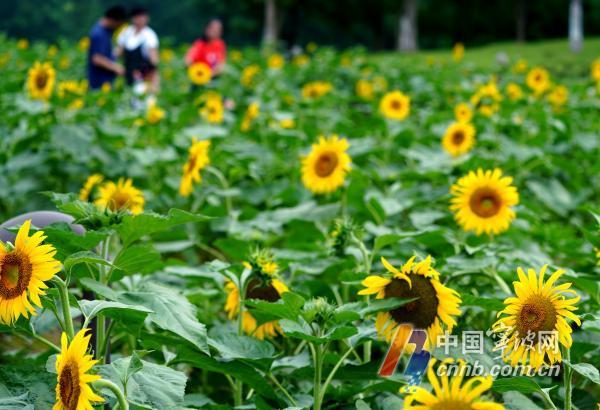 小暑节气  东部新城向日葵竞相绽放