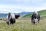 四川藏乡牦牛产业升级助牧民增收
