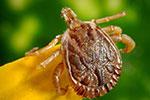 昆虫变武器?美国会要查莱姆病是否源于五角大楼蜱虫实验