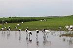 齐齐哈尔:扎龙湿地 鹤舞翩翩
