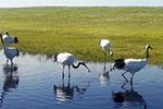 """湿地生态保护的""""扎龙探索"""""""