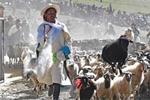 """西藏""""数羊头""""传统活动"""