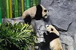 加拿大为中国熊猫龙凤胎宝宝举办欢送活动