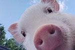 新希望9月商品猪均价26.8元/公斤