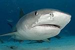 人小胆大!澳8岁男童捕获314公斤虎鲨 或创纪录