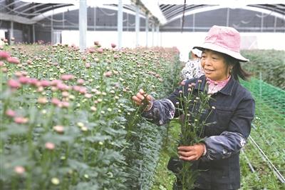 采摘鲜切多头彩菊