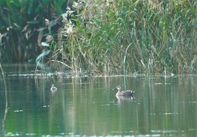 看,鄞州公园 有一群斑嘴鸭
