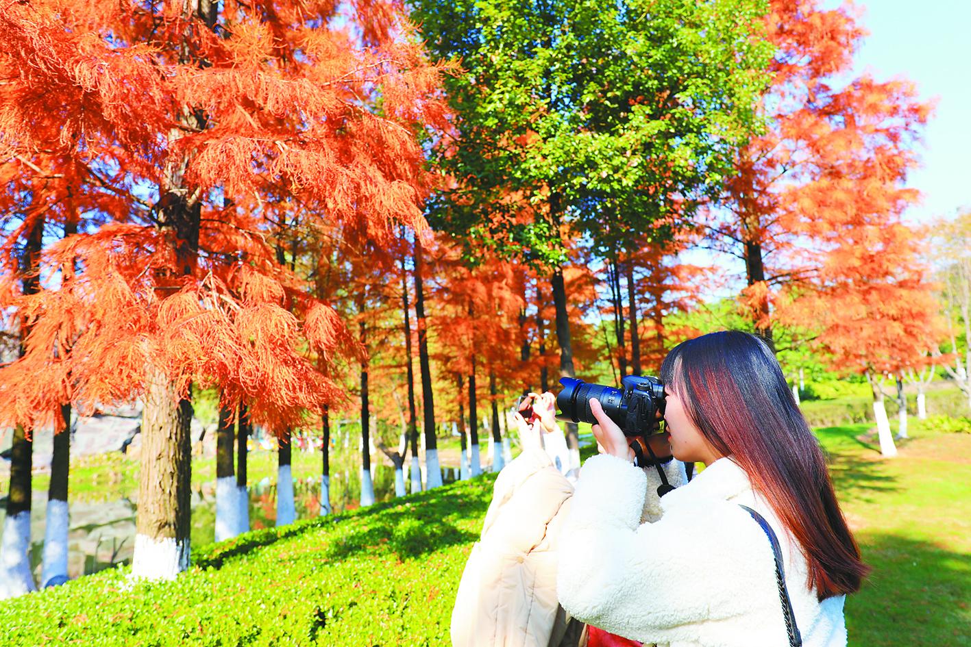 鄞州公园 水杉林红了
