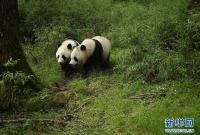 四川卧龙首次拍到野生大熊猫亚成体双胞胎