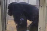 """黑猩猩能随音乐起舞 舞蹈""""基因""""或在600万年前已存在"""