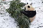 熊猫戏初雪