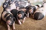 小猪领回家 增收又脱贫