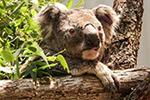 因林火死伤惨重 澳大利亚考拉恐被列入濒危动物
