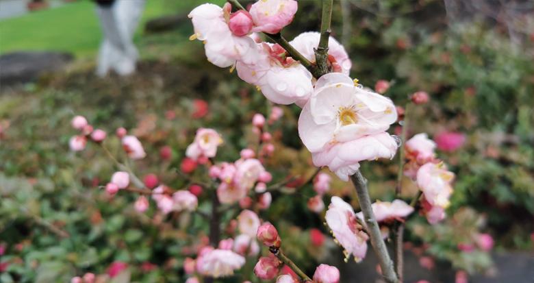这里有130余种梅花 宁波植物园的梅花开了