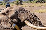 拥有最大象牙之一的非洲大象去世