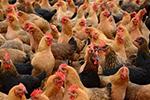 四川西充县发生家禽H5N6亚型高致病性禽流感疫情 死亡1840只