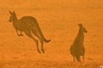 澳大利亚濒危烟鼠吸入烟雾死亡