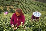 数十万亩茶田或滞销 直播卖茶能自救?