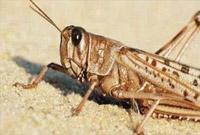 云南将布设110至120个沙漠蝗监测点构建预报网络