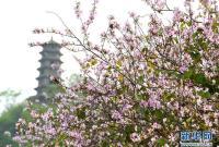 广西柳州:洋紫荆盛开 城市成花海