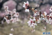 西藏林芝首次启用5G直播呈现桃花美景