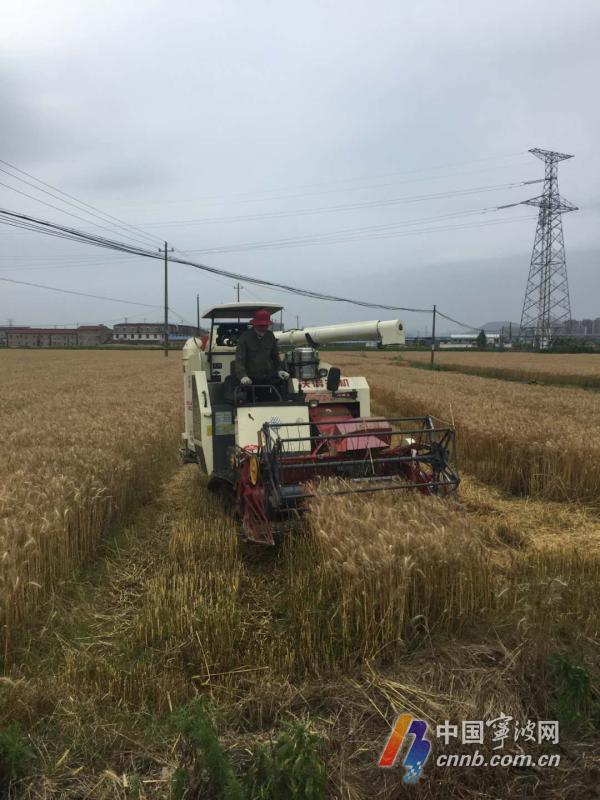 创历史新高!今年宁波小麦总产量预计达5.62万吨