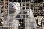 出现水貂感染新冠传人 荷兰要用毒气杀1万只水貂