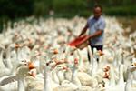 白鹅养殖助脱贫