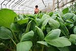 """蔬菜生产保障京津""""菜篮子"""""""